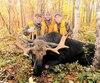 Plus de 400 orignaux sont interceptés chaque année dans la réserve faunique de Rimouski. Sur ce cliché, on peut voir une bête de belle taille arborant un panache d'envergure moyenne pour ce giboyeux coin de pays.