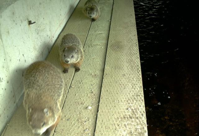 Ces marmottes utilisent sans crainte le même passage plusieurs fois par jour.