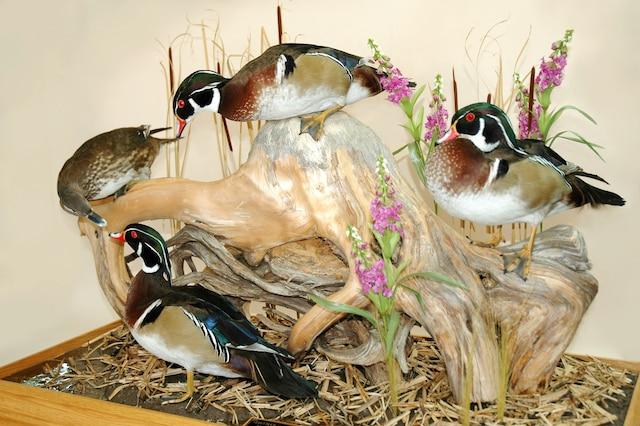 <b>Canards branchus</b><br /> «Séducteurs des marais»