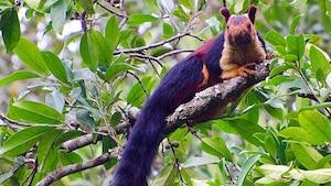 Des écureuils géants multicolores existent en Inde