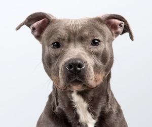 Pitbull portrait at a grey background