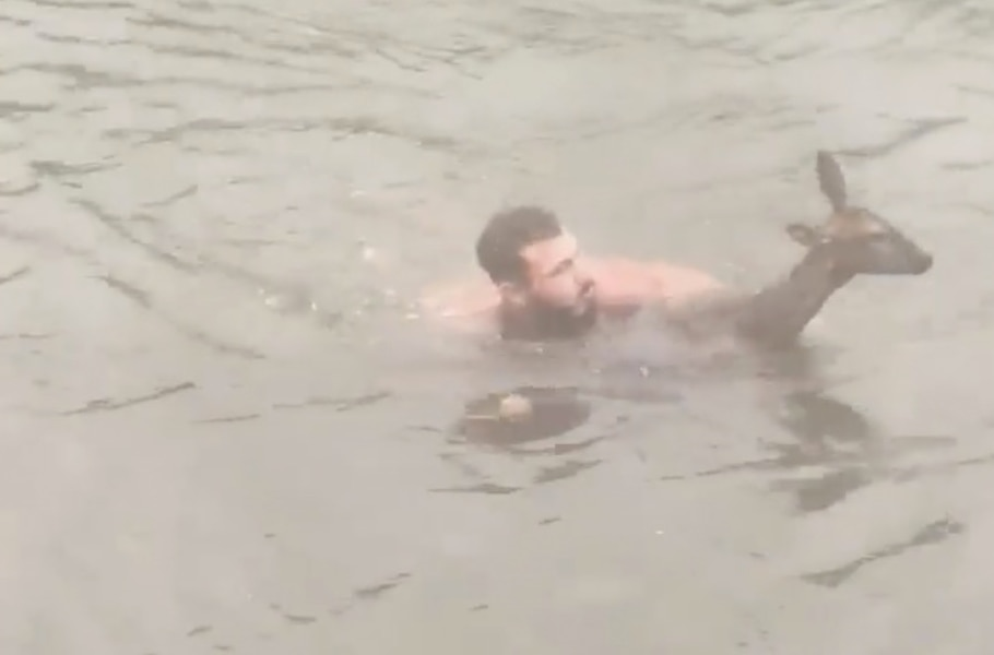 Image principale de l'article Il saute à l'eau pour sauver la vie d'un chevreuil