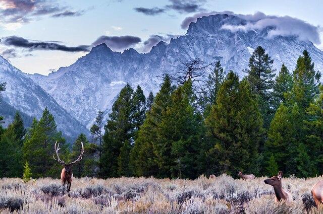 Wapitis, loups et bisons font partie des nombreuses espèces animales qui peuplent le parc de Yellowstone.