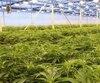 Un aperçu des quelque 4000 kg de marijuana cultivés en 2017 par la société Hydropothecary dans des serres à Gatineau.