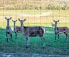 Le troupeau de cerfs rouges de Harpur Farms à Grenville-sur-la-Rouge, dans les Laurentides, a presque entièrement été éliminé.