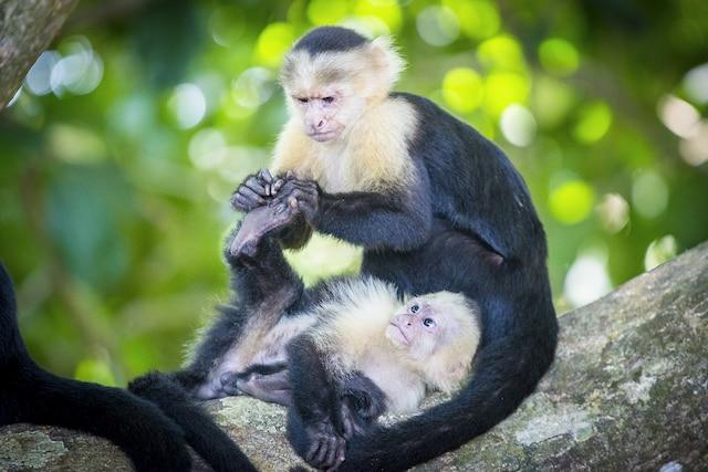 Des singes capucins  se prélassent, bien  habitués aux  humains qui les  observent.