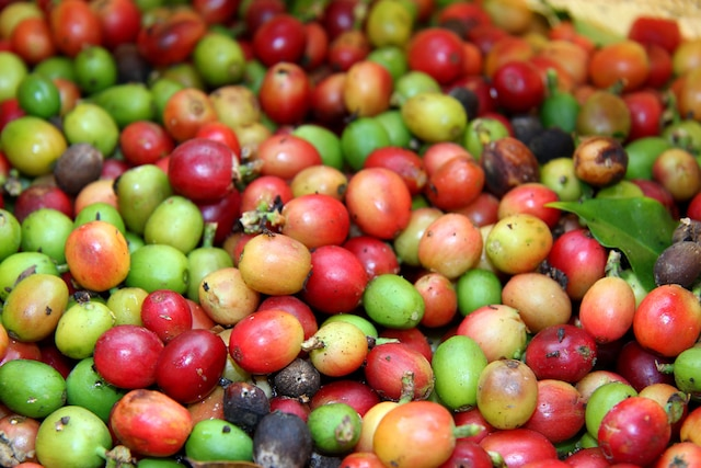 Plantation de café Monte Alto.