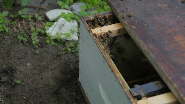 Lorsque la reine est récoltée et transposée dans la nouvelle ruche, les abeilles « appellent » celles manquantes à rejoindre l'essaim et leur reine.