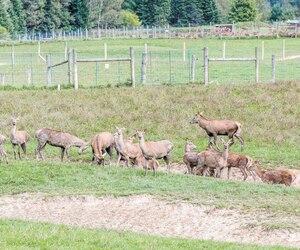 Les cerfs rouges du cheptel où un cas de maladie débilitante du cerf a été trouvé cette semaine. Des chasseurs américains ont été embauchés pour récupérer des animaux à analyser.