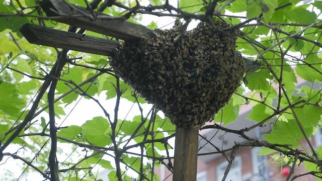 Un essaim comme celui-ci peut contenir plus de 20 000 abeilles.