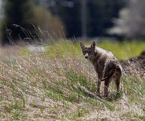 A coyote is seen in Edmonton Alberta
