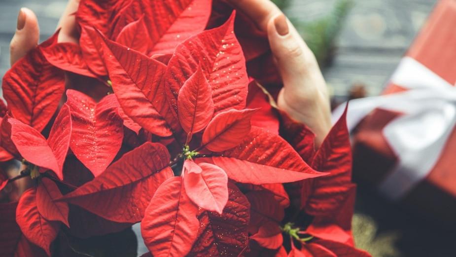 Le poinsettia, fleur de Noël