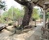 Cet arbre était utilisé pour fracasser des crânes.