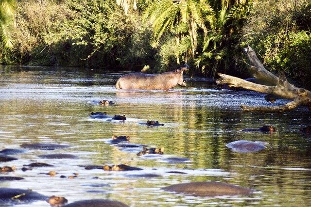 L'hippopotame est le plus dangereux des animaux pour l'homme. Il tue un nombre effarant d'humains chaque année. Comme quoi les apparences sont trompeuses.