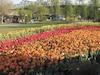 Festival canadien de tulipes à Ottawa