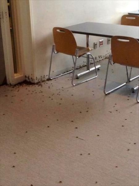 Des milliers de sauterelles ont été déversées aux HEC.