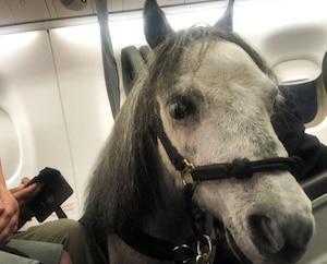 Elle voyage avec son cheval miniature