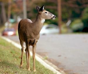 Image principale de l'article Quand les animaux sauvages emménagent en ville