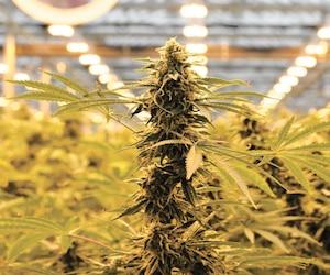 Cannabis Hexo