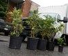 Lors de l'opération Ondulation d'hier, les policiers de la SQ ont saisi 1500 plants de marijuana dans une serre de culture intérieure utilisant des lampes DEL moins énergivores.
