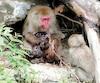 La femelle macaque et son bébé croqués sur le vif peu de temps après la naissance au Zoo de Saint-Félicien.