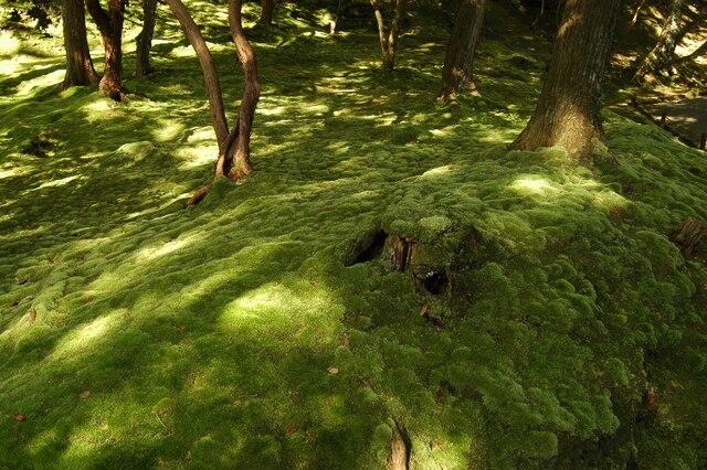 Plus de 120 espèces de mousses forment un tapis velouté sur le sol du jardin du Saiho-ji.