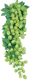 Le houblon est à la bière ce que le cépage est au raisin.