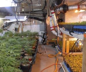 Producteurs de marijuana arrêtés par le SPVM