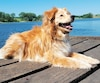 dog - golden retriever mix lies on bridge at a lake at a sunny day