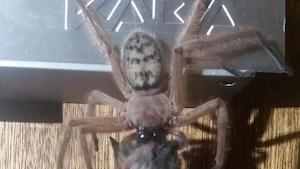 Cette araignée géante mange un opossum