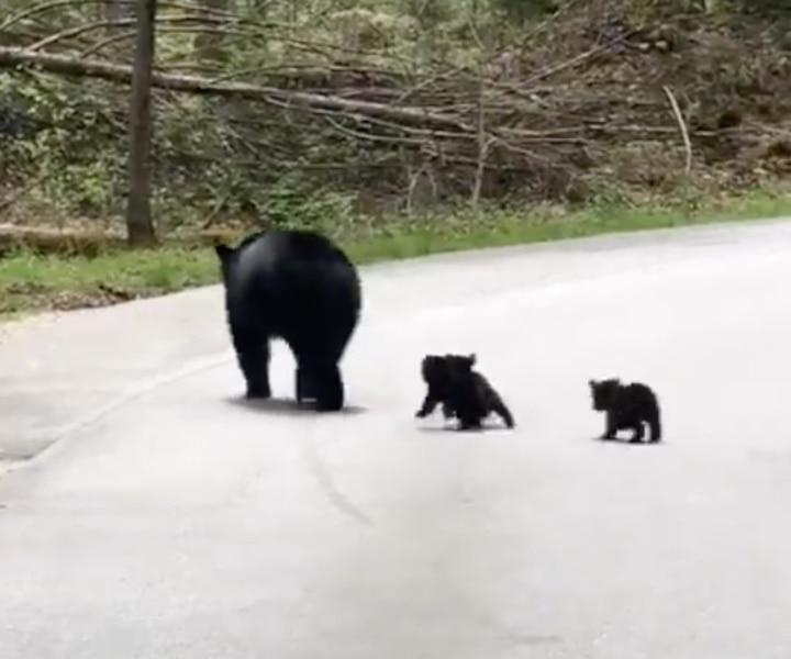 Cette vidéo d'une maman ours et de ses petits est la meilleure chose que vous verrez aujourd'hui!