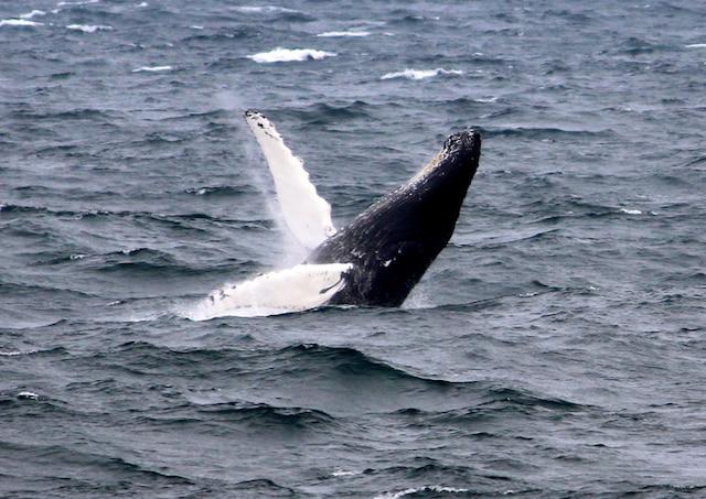 La Côte-Nord, avec sa Route des Baleines, est l'un des meilleurs endroits au monde pour l'observation des mammifères marins.