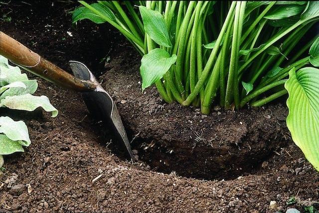 En faisant une profonde tranchée autour du plant à environ 15 cm de ses tiges, vous pourrez ensuite couper la partie inférieure de la motte de racines et l'extraire aisément du sol