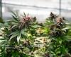 La Ville craint que la culture industrielle de cannabis conduise « à une augmentation de la teneur en phosphore et en azote soluble dans l'eau de surface (culture en champ) ou dans l'eau d'égout (culture hydroponique).