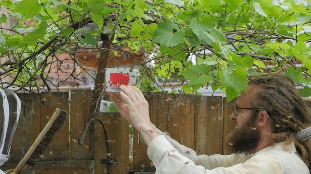 Alexandre Beaudoin (à droite), fondateur de Miel Montréal, et Wassili Dudan (à gauche) récoltent les dernières abeilles de l'essaim pour les transposer dans une ruche portative.