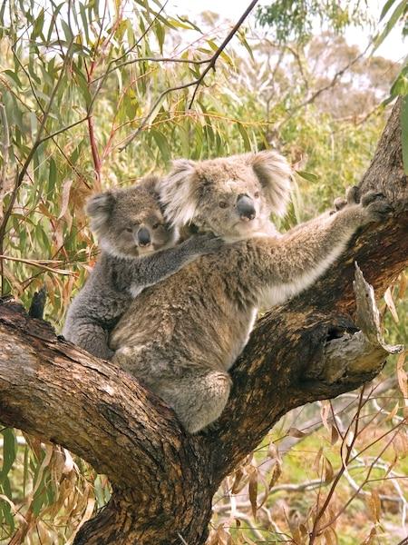 Le koala porte son petit sur son dos jusqu'à ce qu'il atteigne le quart de sa taille.