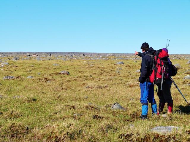 Observation des caribous  au parc des Pingualuit.