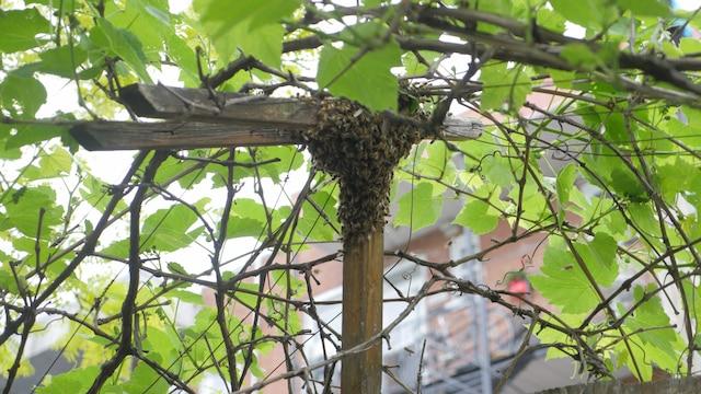 Le processus de récolte peut nécessiter beaucoup de patience lorsque les abeilles restantes s'accrochent au domicile temporaire qu'elles ont choisi.