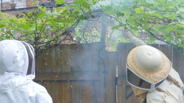 Les apiculteurs utilisent de la fumée pour calmer les abeilles lors de l'intervention d'essaimage.