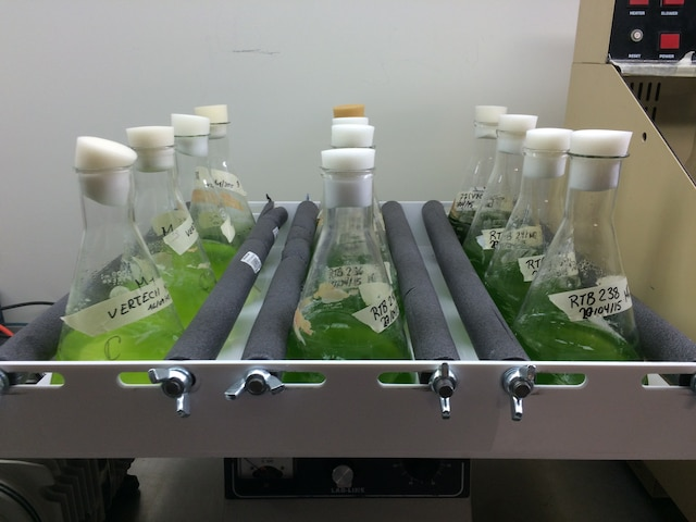Culture de microalgues en laboratoire pour produire du biocarburant.