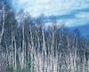 Les chenilles spongieuses ont complètement dépouillé ces arbres de leurs feuilles. Soumis à un tel traitement durant deux ou trois étés consécutifs, les arbres s'affaiblissent. Plus vulnérables aux maladies, ils meurent.