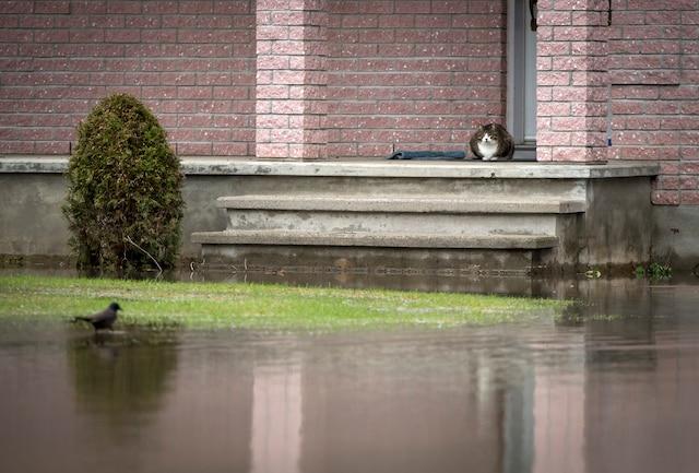 La Ville de Rigaud, en Montérégie, a déclaré l'état d'urgence jeudi en raison de la crue printanière «historique» causant d'énormes inondations sur son territoire, à Rigaud près de Montréal, samedi le 22 avril 2017. Sur cette photo: Un chat regarde un oiseau sans pouvoir l'atteindre près de la rue Létourneau. JOEL LEMAY/AGENCE QMI
