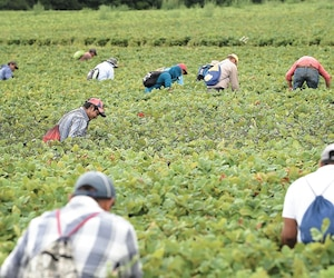 Plusieurs entreprises familiales de l'île d'Orléans peuvent compter sur les employés latinos, dont la ferme François Gosselin.