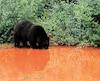 Un ours noir a été aperçu en train de boire de l'eau rouge à côté d'un site de la minière Tata Steel, près de Schefferville, sur la Côte-Nord