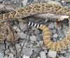Tammy-Lee Buttle a roulé sur le serpent alors qu'elle stationnait un autobus scolaire dans le parc industriel des Augustines.