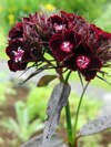 Œillet 'Sooty' (Dianthus barbatus var. nigrescens 'Sooty')