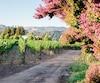 Les vignobles sont présents partout où le regard se pose dans les vallées de Napa et Sonoma, en Californie.