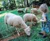 Biquette à Montréal moutons au parc Maisonneuve