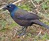 Le quiscale bronzé arrive d'habitude au Québec à partir de la mi-mars. L'ornithologue Michel Bertrand assure toutefois en avoir déjà vu quelques spécimens récemment.