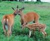 Les autorités américaines ont émis un avertissement au sujet de la tuberculose bovine, une maladie qui peut toucher les cerfs. Le Québec n'est pas à l'abri de cette nouvelle menace, selon l'Alliance for Public Wildlife.